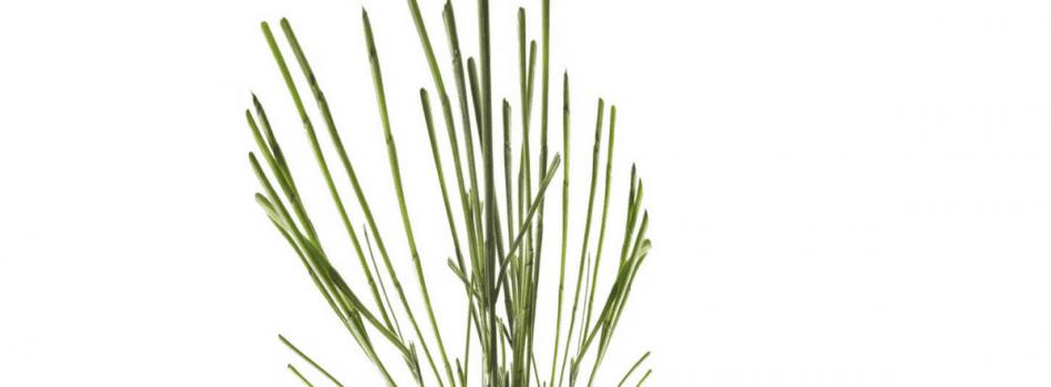 Njivska Preslica Equisetum Arvense L