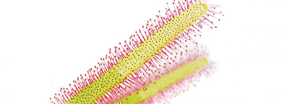 okroglolista rosika
