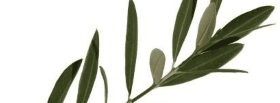 oljka_soria natural