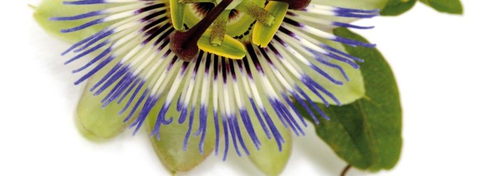 Pasijonka Passiflora Incarnata L