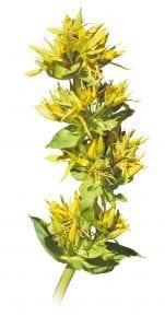 Esen Allium Sativum