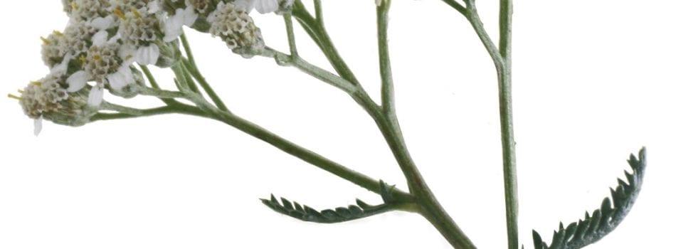 Navadni Rman Achillea Millefolium L